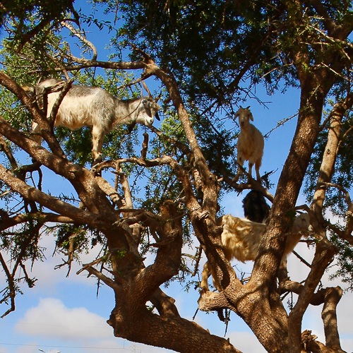 argan-eating goats